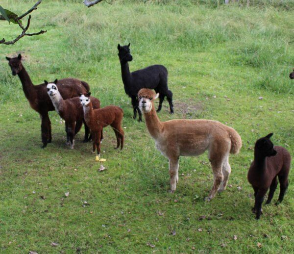 Te Korito alpaca herd members